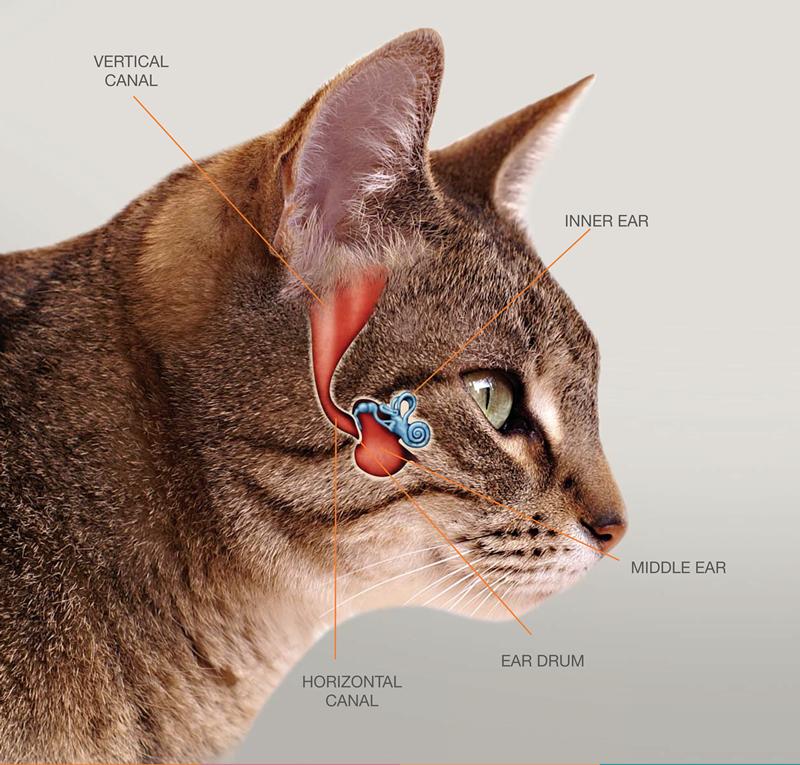 katt utan öron